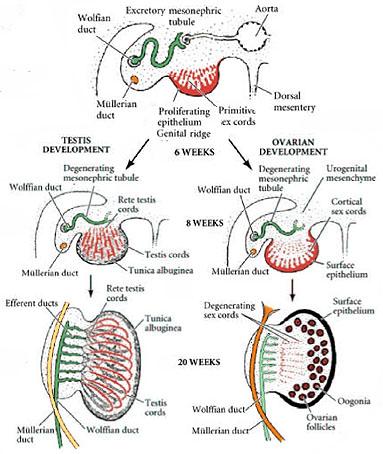 Sexual Paradox Human Evolution  Dhushara