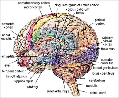 Sexual paradox brain contents ccuart Image collections